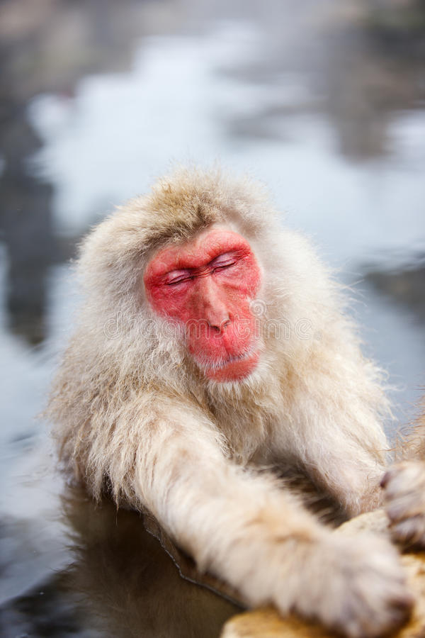 Snow Monkey. Male snow monkeys Japanese macaque bathe in onsen hot springs of Nagano, Japan stock photography