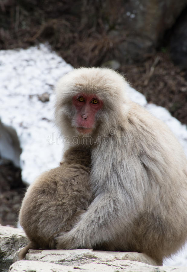 Snow Monkey Mother and Baby. Close up of snow monkey mother and baby sitting on rocks with snow in the background. There is snow behind these Japanese macaques royalty free stock photography