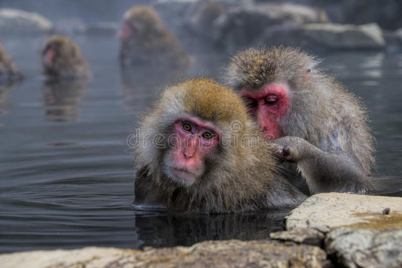 Snow Monkey in Nagano Japan stock photo