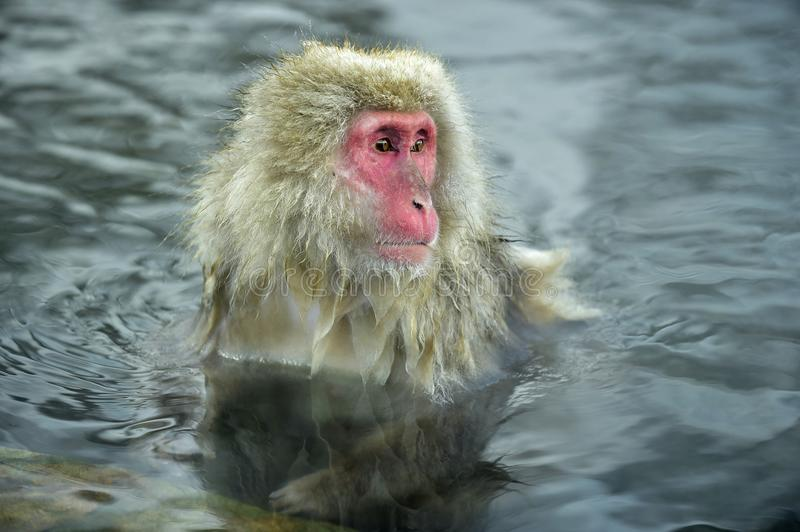 Snow monkey in a natural onsen hot spring, located in Jigokudani Park, Yudanaka. Nagano Japan. The Japanese macaque Scincific name: Macaca fuscata, also known royalty free stock photos