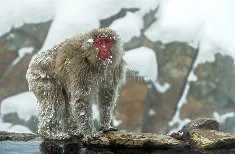 Snow monkey near natural hot spring. The Japanese macaque ( Scientific name: Macaca fuscata), also known as the snow monkey. stock image