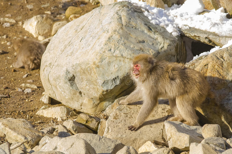 Snow Monkey Offensive Posture. Eyes staring straight ahead, furry brown hair puffed out, arms and legs spread apart and wide while baring teeth, this wild snow stock image