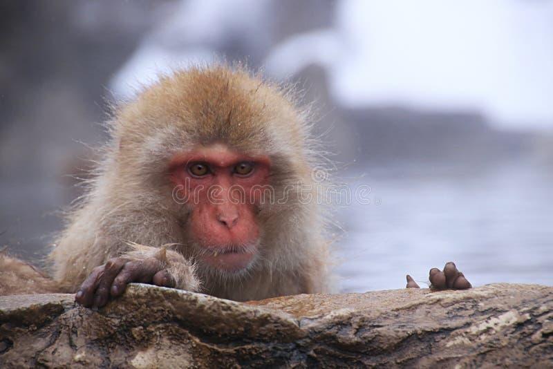 Snow Monkey Onsen in Japan. Snow Monkey On sen in Monkey park. Every day in winter in Japan stock photo