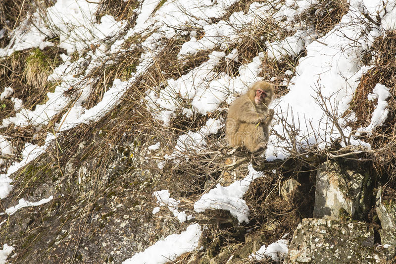 Snow Monkey Out on a Branch, Gnawing a Twig. A fuzzy wild snow monkey sits precariously on a limb of a bush jutting out from rocks on the side of a snow covered stock images