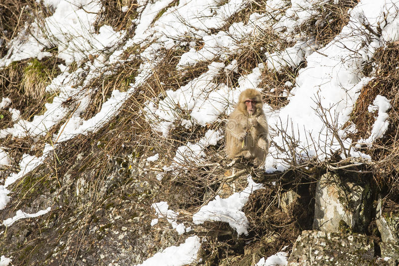Snow Monkey Out on a Limb, Food in Hand. A fuzzy wild snow monkey sits precariously on a limb of a bush jutting out from rocks on the side of a snow covered royalty free stock photography