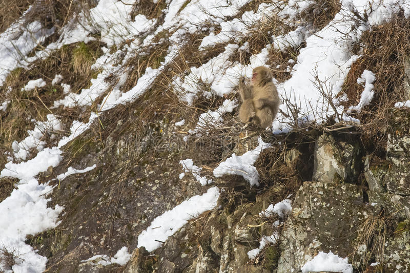 Snow Monkey Out on a Limb. A fuzzy wild snow monkey sits precariously on a limb of a bush jutting out from rocks on the side of a snow covered steep mountainside royalty free stock photo