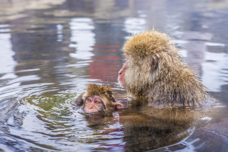 Snow Monkey Park. Macaques bath in hot springs in Nagano, Japan stock photos