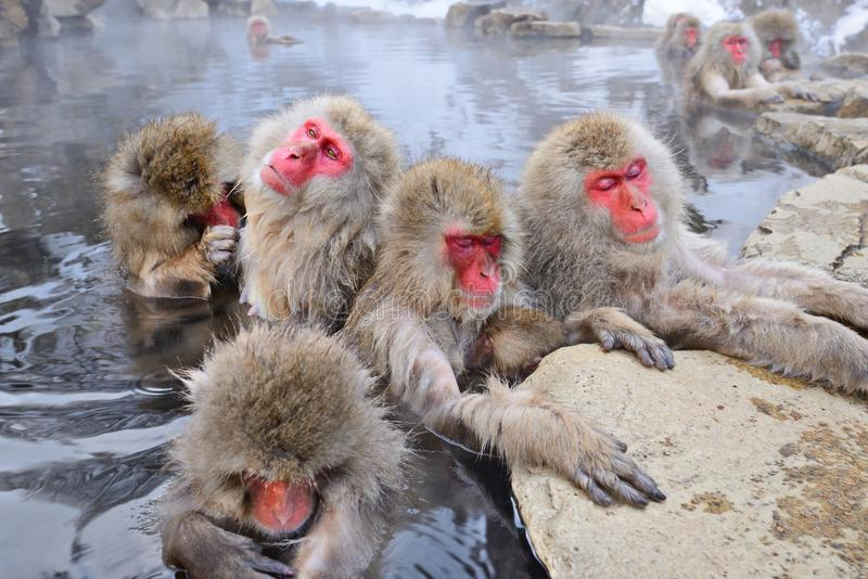 Snow Monkey Park. Macaques bath in hot springs in Nagano, Japan royalty free stock photography