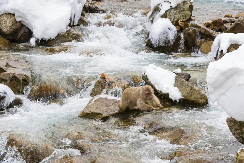 Snow Monkey Preparing to Jump over Water. A brown, fuzzy wild snow monkey jleans forward and stretches its front limbs out as it prepares to make a leap over stock image