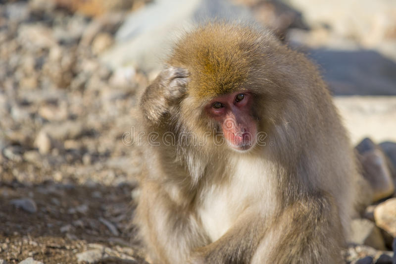 Snow Monkey Scraching Head, or Thinking. A fuzzy , furry brown, red-faced wild snow monkey sits among rocks hunched over and looking up, while either pondering a stock photo