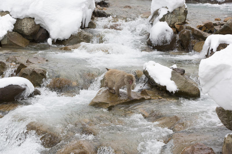 Snow Monkey Standing on Rock in Rapids. A brown, fuzzy wild snow monkey standing on a rock in the middle of gushing rapids stock images