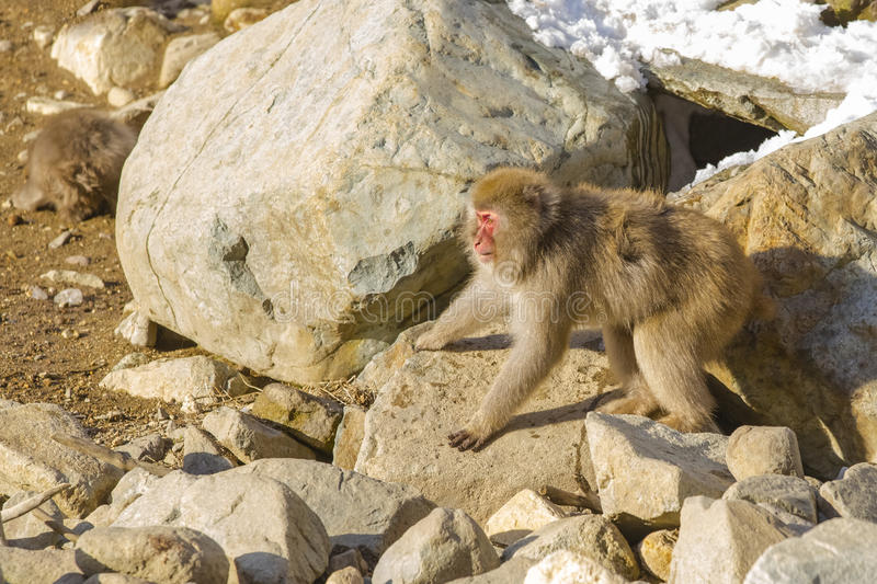 Snow Monkey Threat Pose. Eyes staring straight ahead, furry brown hair puffed out, arms and legs spread apart and wide, this wild snow monkey fixed on a pile of stock photos