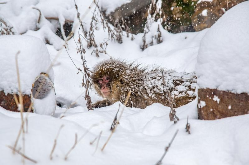 Snow monkey warms itself on a hot pipe. A Japanese Macaque, or snow monkey, clings to a hot water pipe, one of several that feed hot spring water from the royalty free stock photo