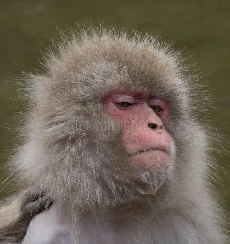 Snow Monkey with Water on Its Chin. Close up of a snow monkey or Japanese macaque with water on its chin. Photographed with shallow depth of field royalty free stock photo