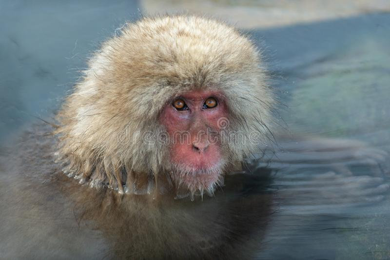 Snow monkey in the water of natural hot springs. The Japanese macaque ( Scientific name: Macaca fuscata), also known as the snow. Monkey. Natural habitat royalty free stock photography