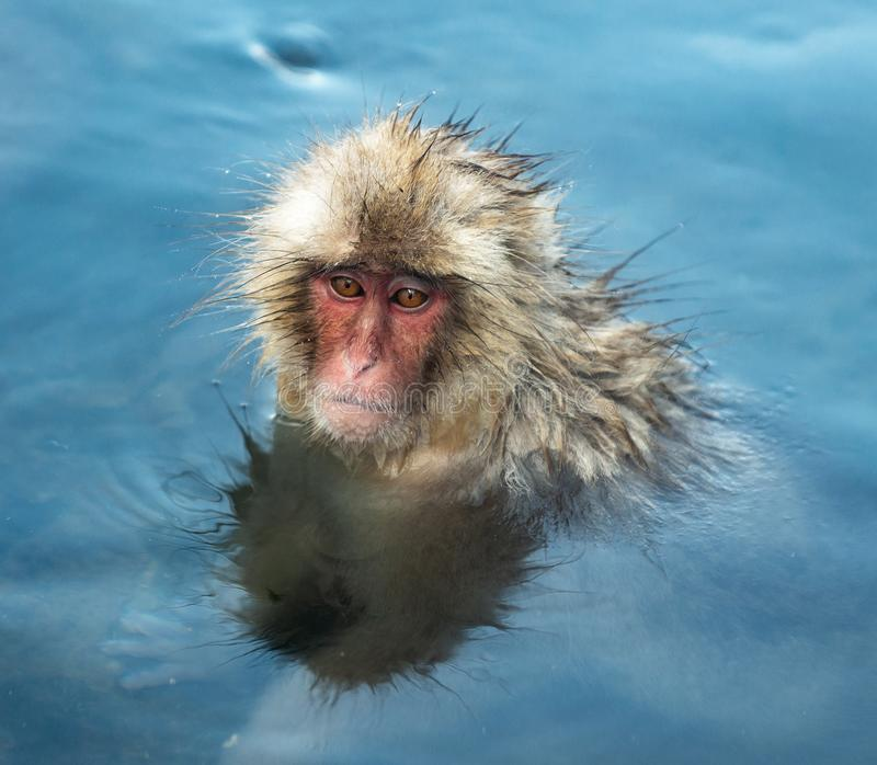 Snow monkey in the water of natural hot springs. The Japanese macaque ( Scientific name: Macaca fuscata), also known as the snow. Monkey. Natural habitat stock photo