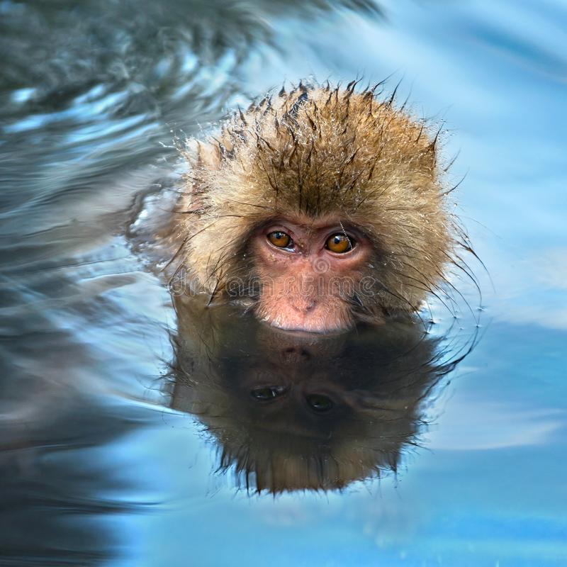 Snow monkey in the water of natural hot springs. The Japanese macaque ( Scientific name: Macaca fuscata), also known as the snow. Monkey. Natural habitat royalty free stock photos