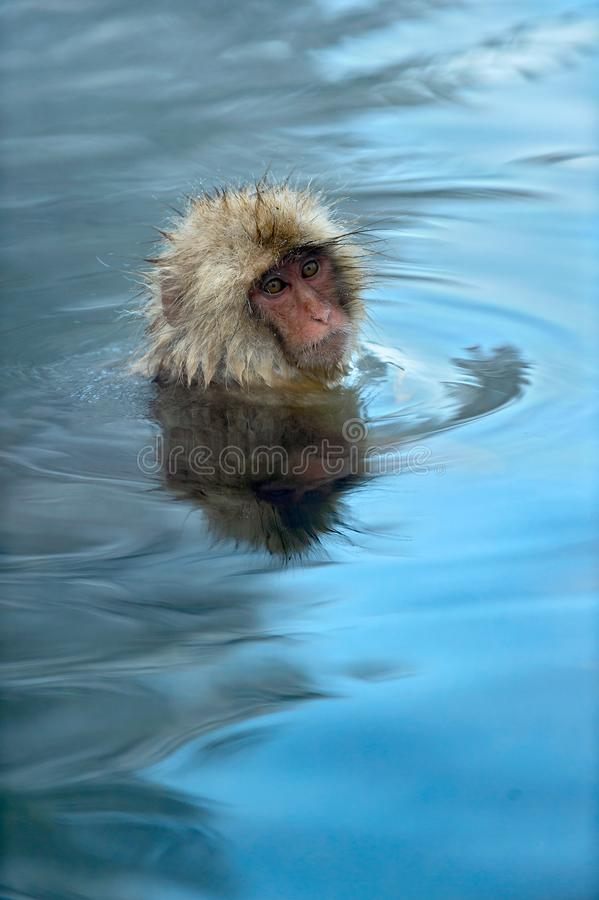 Snow monkey in the water of natural hot springs. The Japanese macaque ( Scientific name: Macaca fuscata), also known as the snow. Monkey. Natural habitat royalty free stock images