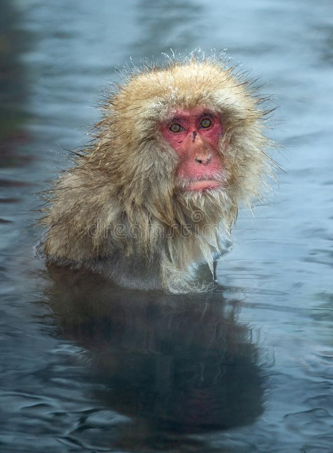Snow monkey in the water of natural hot springs. The Japanese macaque ( Scientific name: Macaca fuscata), also known as the snow. Monkey. Natural habitat royalty free stock image