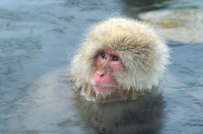 Snow monkey in the water of natural hot springs. The Japanese macaque ( Scientific name: Macaca fuscata), also known as the snow. Monkey. Natural habitat stock photography