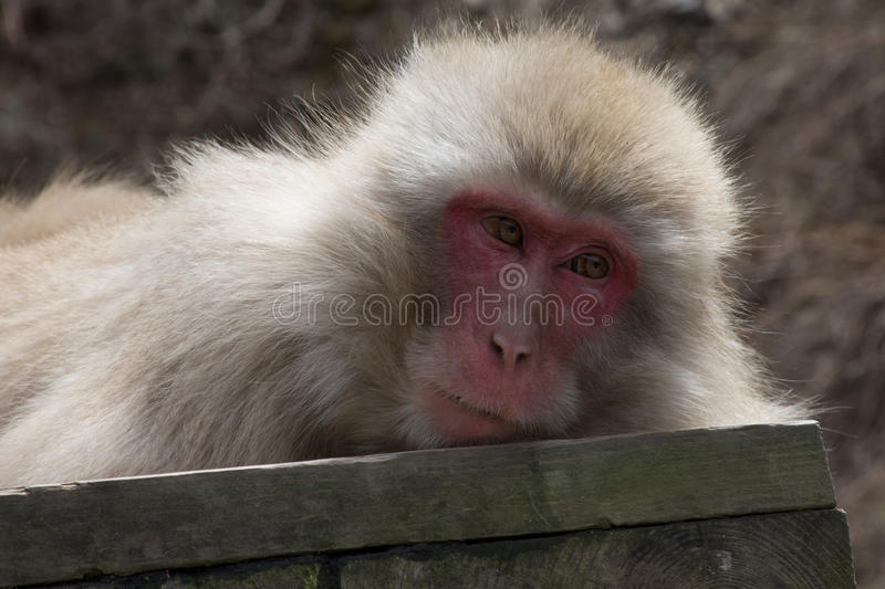 Snow Monkey on Wood Plank. Close up of a snow monkey or Japanese macaque resting on a wood plank. Only head and shoulders are seen royalty free stock image