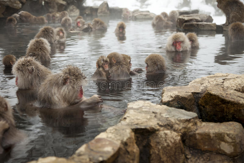 Snow monkeys royalty free stock photo