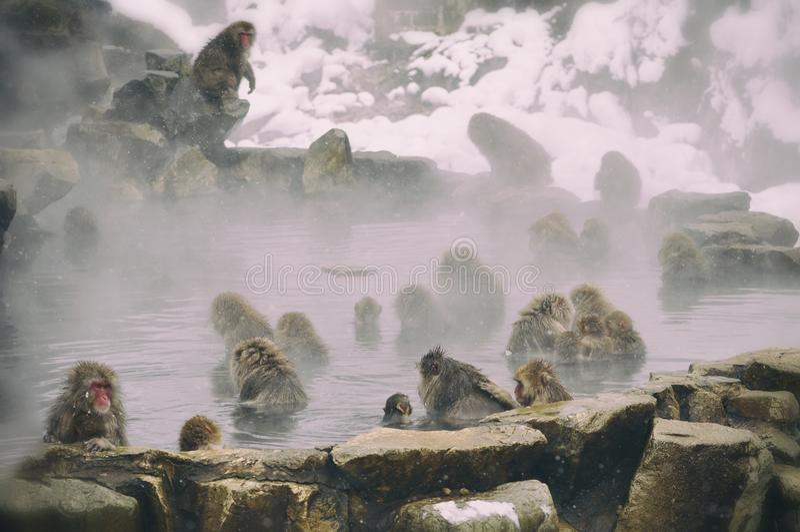 Snow Monkeys stock photos