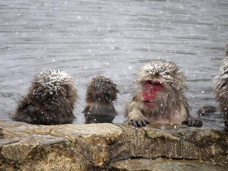 Snow monkeys gathering in hot spring onsen to keep warm while snow fall in winter - Japan. The snow monkeys gathering soaking in hot spring for keeping warm royalty free stock images