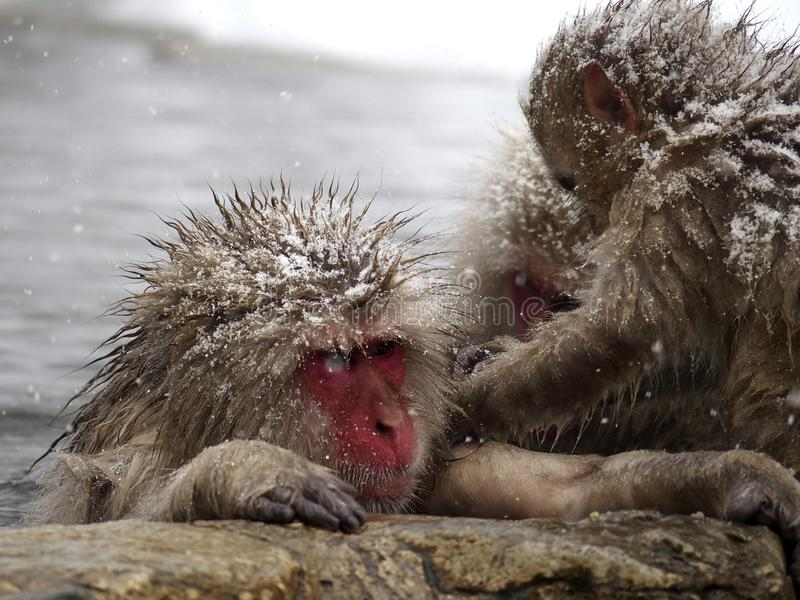 Snow monkeys gathering in hot spring onsen to keep warm while snow fall in winter - Japan. The snow monkeys gathering soaking in hot spring for keeping warm royalty free stock photo