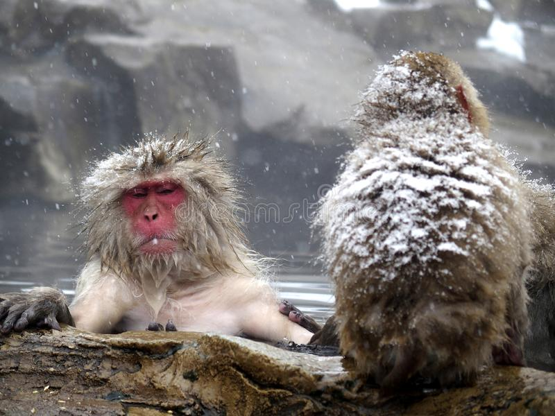 Snow monkeys gathering in hot spring onsen to keep warm while snow fall in winter - Japan. The snow monkeys gathering soaking in hot spring for keeping warm stock images