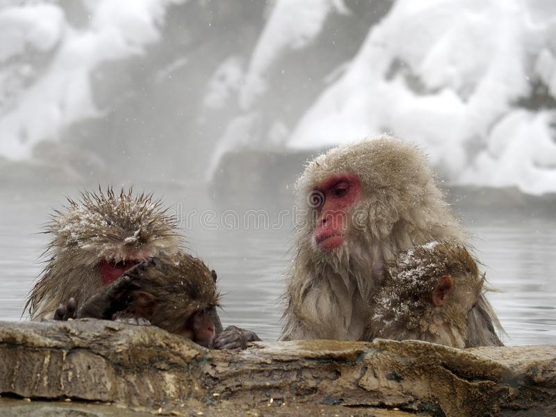 Snow monkeys gathering in hot spring onsen to keep warm while snow fall in winter - Japan. The snow monkeys gathering soaking in hot spring for keeping warm stock photography