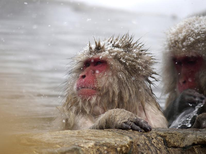 Snow monkeys gathering in hot spring onsen to keep warm while snow fall in winter - Japan. The snow monkeys gathering soaking in hot spring for keeping warm royalty free stock image