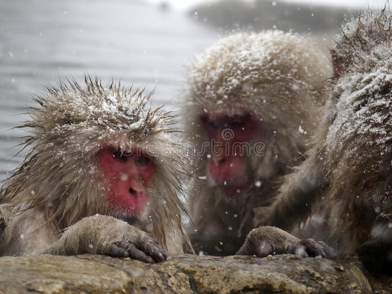 Snow monkeys gathering in hot spring onsen to keep warm while snow fall in winter - Japan. The snow monkeys gathering soaking in hot spring for keeping warm stock photos