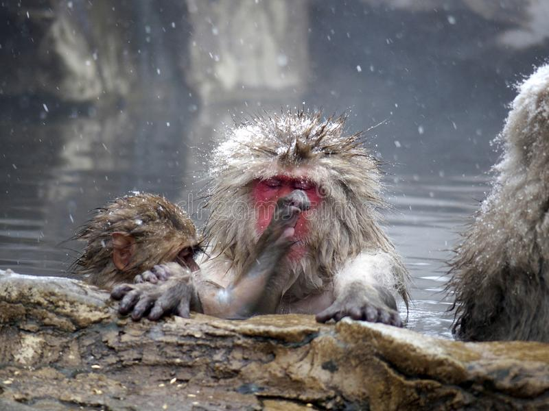 Snow monkeys gathering in hot spring onsen to keep warm while snow fall in winter - Japan. The snow monkeys gathering soaking in hot spring for keeping warm stock image