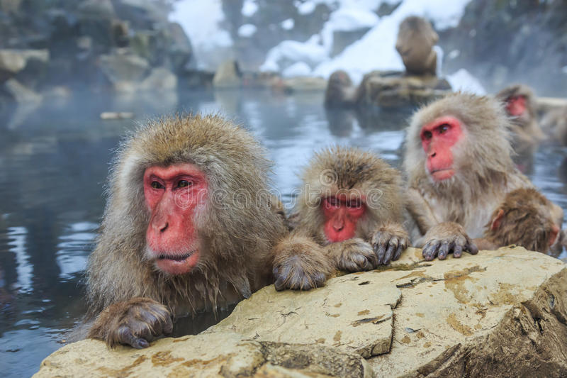 Snow monkeys, Japan. Snow monkeys in a natural onsen (hot spring), located in Jigokudani Park, Yudanaka. Nagano Japan stock image