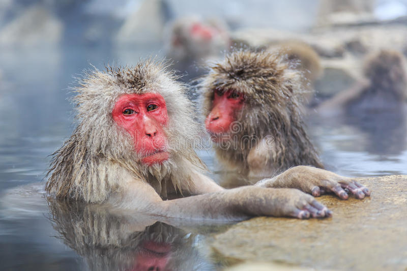 Snow monkeys, Japan. Snow monkeys in a natural onsen (hot spring), located in Jigokudani Park, Yudanaka. Nagano Japan