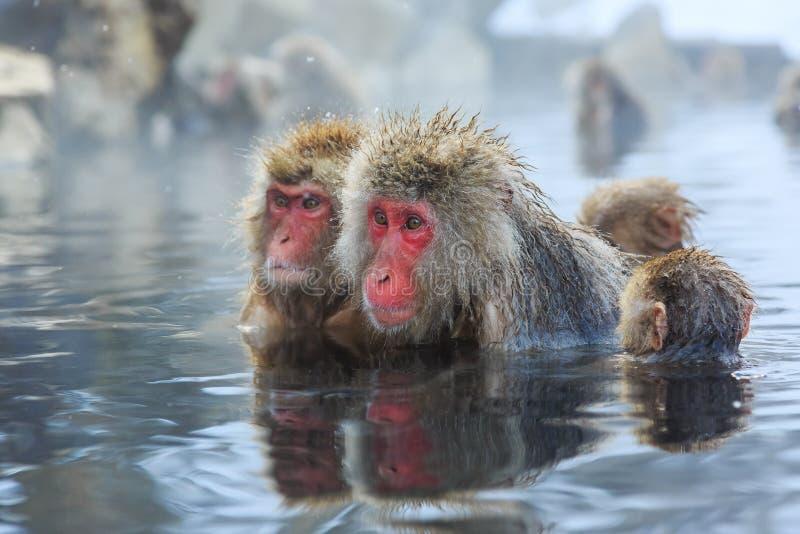 Snow monkeys, Japan. Snow monkeys in a natural onsen (hot spring), located in Jigokudani Park, Yudanaka. Nagano Japan stock photo