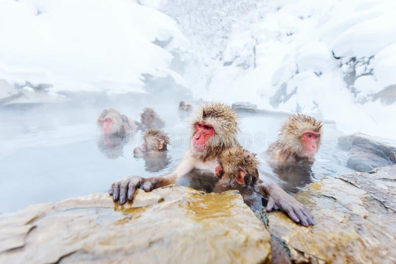 Snow Monkeys. Japanese Macaques bathe in onsen hot springs of Nagano, Japan royalty free stock image