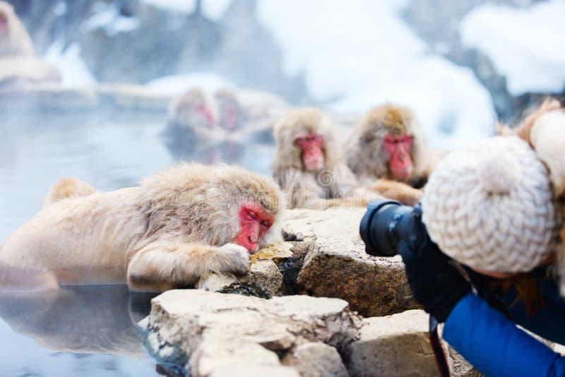 Snow Monkeys. Japanese Macaques bathe in onsen hot springs at Nagano, Japan royalty free stock image