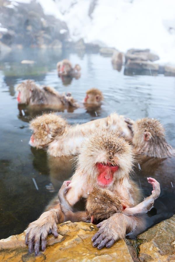 Snow Monkeys. Japanese Macaques bathe in onsen hot springs at Nagano, Japan stock photo
