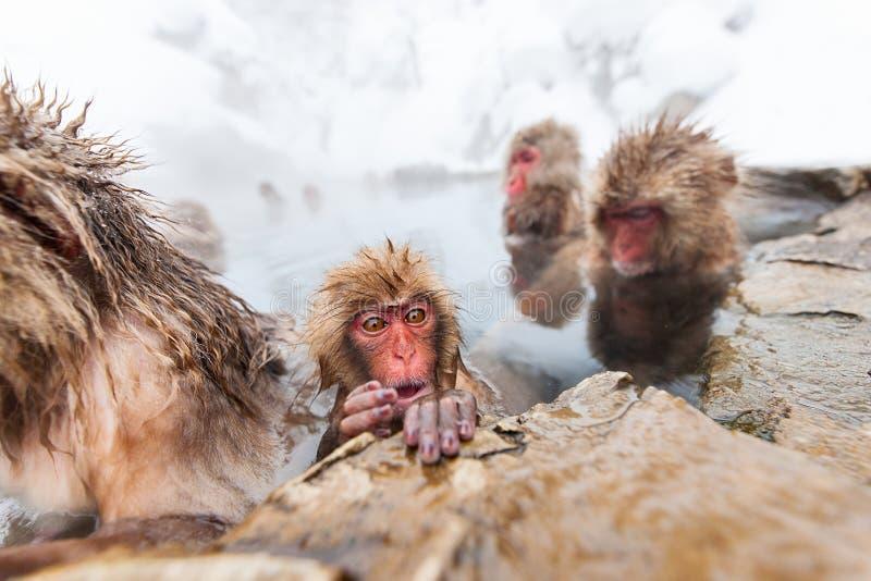 Snow Monkeys. Japanese Macaques bathe in onsen hot springs of Nagano, Japan stock image