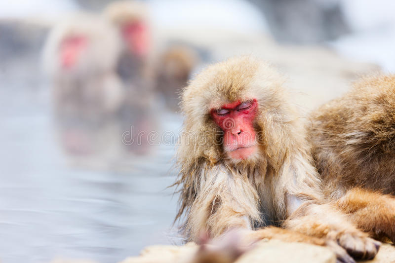 Snow Monkeys. Japanese Macaques bathe in onsen hot springs of Nagano, Japan royalty free stock photography
