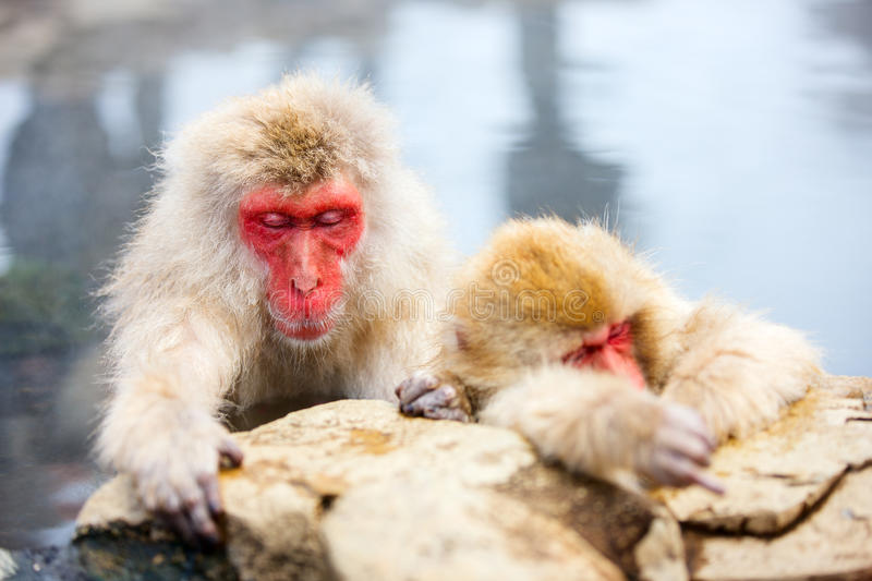 Snow Monkeys. Japanese Macaques bathe in onsen hot springs of Nagano, Japan royalty free stock images