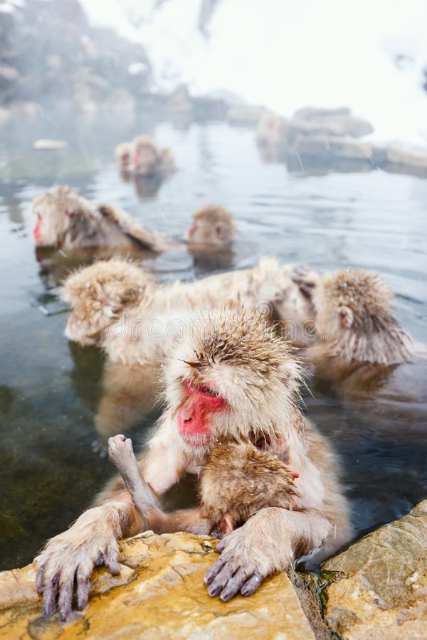 Snow Monkeys. Japanese Macaques bathe in onsen hot springs of Nagano, Japan stock photos