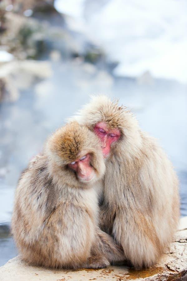 Snow Monkeys. Japanese Macaques at onsen hot springs of Nagano, Japan stock photo