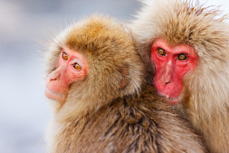 Snow Monkeys. Japanese Macaques at onsen hot springs at Nagano, Japan stock image
