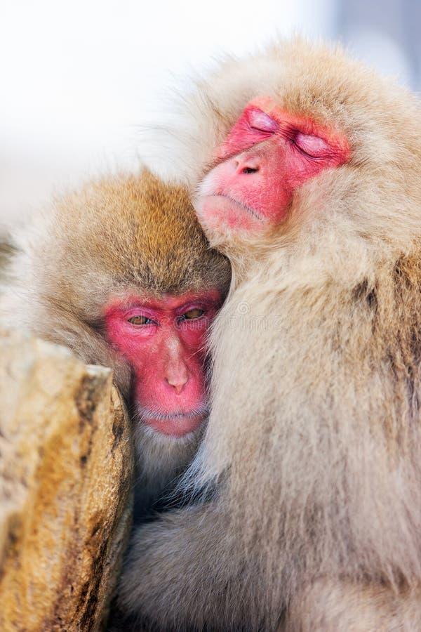 Snow Monkeys. Japanese Macaques at onsen hot springs at Nagano, Japan stock photos