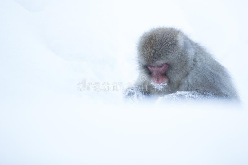 Snow monkeys in a natural onsen (hot spring), located in Jigokudani Park, Yudanaka. Nagano Japan. royalty free stock images