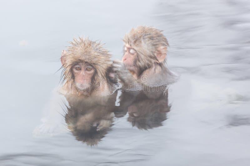 Snow monkeys in a natural onsen (hot spring), located in Jigokudani Park, Yudanaka. Nagano Japan. stock photo