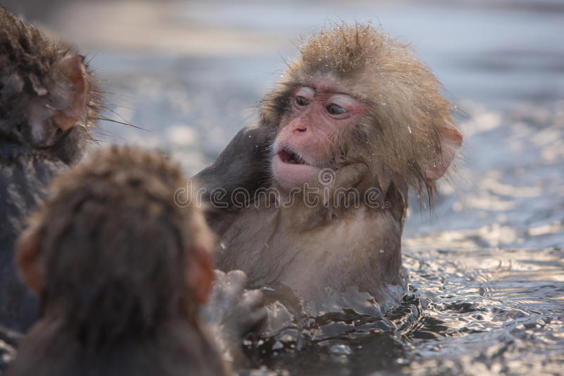 Snow monkeys in a natural onsen (hot spring), located in Jigokudani Park, Yudanaka. Nagano Japan. stock photography